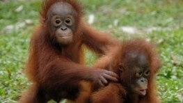 近距離跟人猿 Say Hello!