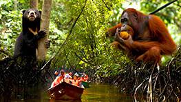 人猿 + 馬來熊及紅樹林遊弋