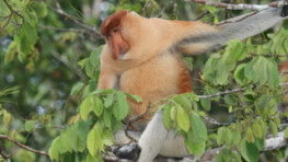 Semporna Proboscis Monkey & River Cruise