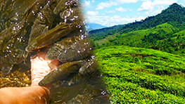 Sabah Teh Plantation and Fish Massage