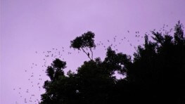 Gomantong Cave Bats Watching