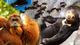 山打根之星:海龜 + 人猿 + 馬來熊